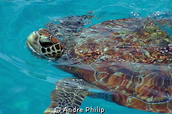 a young turtle for breathing on the surface by Andre Philip